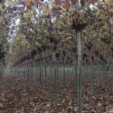 2公分法桐小苗价格 2~5法桐树苗基地批发