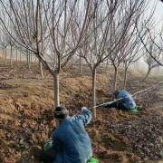 10公分的樱花树多少钱一棵 基地樱花树苗价格