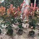 红叶石楠苗价格多少 基地60公分红叶石楠批发
