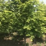 3公分金叶水杉多少钱一棵  哪里有金叶水杉出售