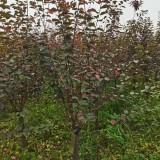 红梅苗价格多少钱一棵 江苏红梅苗批发基地