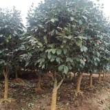 茶花价格多少钱一棵 5公分6公分茶花树价格