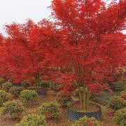 丛生日本红枫哪里有卖 基地6公分日本红枫树价格