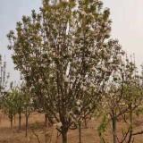 14公分八棱海棠树价格 河北八棱海棠树基地批发