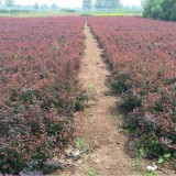 红叶小檗小苗价格 30公分红叶小檗多少钱一株