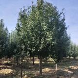 八棱海棠树供应价格 八棱海棠树种植基地