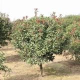 独杆红叶石楠什么价格 高3.5米独杆红叶石楠树批发