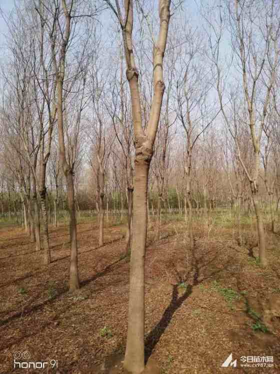 江苏精品乌桕价格 乌桕种植基地