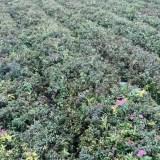 粉花绣线菊地被苗 30公分粉花绣线菊小苗价格