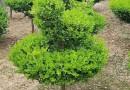 独杆瓜子黄杨价格 基地3公分瓜子黄杨树批发