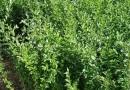水蜡绿篱价格 基地40公分水蜡多少钱一棵