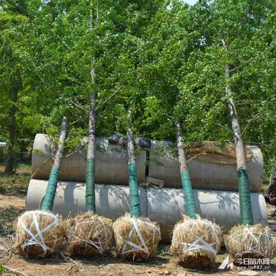 5公分6公分嫁接银杏价格  基地供应嫁接银杏树