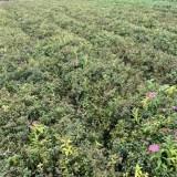 高30公分粉花绣线菊价格多少钱一棵