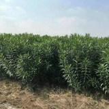 绿化苗夹竹桃价格 高1.5米夹竹桃基地批发