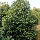 3米4米桂花树价格表 江苏桂花种植基地