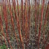 红瑞木苗基地大量出售 红瑞木绿化工程用苗批发