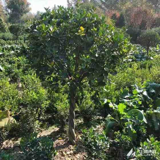 獨桿大葉黃楊哪里有 3公分獨桿大葉黃楊價格