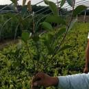 批发红叶石楠绿化小苗 20公分红叶石楠价格