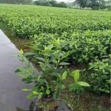 栀子花工程苗多少钱一棵 基地栀子花苗批发价格