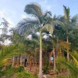 5米假槟榔价格 福建漳州棕榈树种植基地