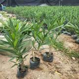 1米夹竹桃价格 基地1.5米夹竹桃多少钱一棵