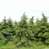 1米雪松多少钱一棵 1至6米雪松树价格