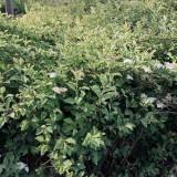 珍珠梅工程苗价格 高30~40~50公分珍珠梅苗批发