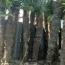 2米棕榈树价格多少钱一株 江苏棕榈基地报价