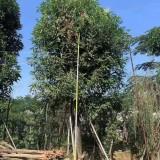 20公分芒果树价格 基地芒果树苗多少钱一棵