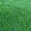 哪里有早熟禾草坪 江苏早熟禾草坪基地批发