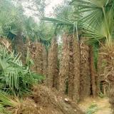 2米棕榈树苗价格 2米棕榈树多少钱一棵
