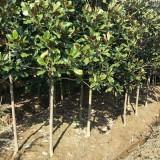 8公分广玉兰树多少钱一株 5至8公分广玉兰价格