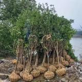 10公分桂花树多少钱一棵 5至10公分桂花树苗价格表