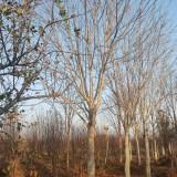 8公分七叶树价格 9公分七叶树多少钱一棵