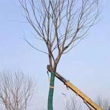 7公分朴树价格 基地8公分朴树多少钱一棵