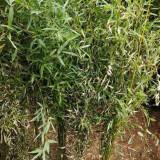 竹子苗现在批发多少钱 江苏1公分2公分竹子苗价格表