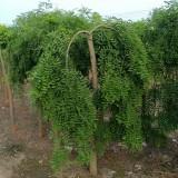 垂槐树哪里有卖 基地5公分至10公分垂槐价格