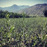 油橄榄一年生苗 油橄榄容器苗