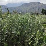 油橄榄二年生苗