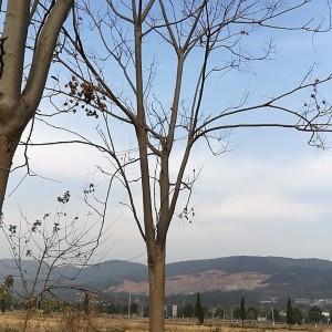 黄山栾树基地批发 15公分黄山栾树多少钱一棵