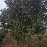 8公分10公分广玉兰树多少钱一棵 广玉兰基地批发价