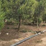 哪里有卖黄杨树 基地10公分黄杨树多少钱一棵