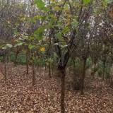 木瓜海棠树批发 6公分8公分木瓜海棠价格