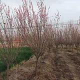 红梅树苗 3公分红梅树价格多少钱一棵