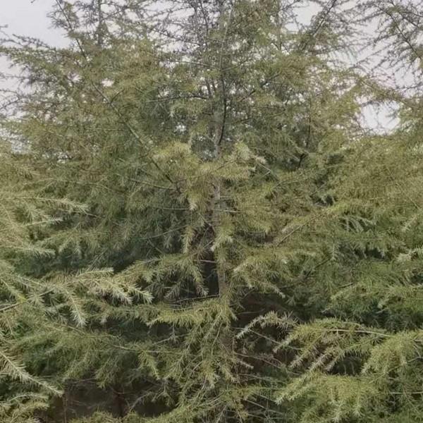 雪松3米高多少钱一棵 3米4米雪松价格