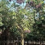 6公分大叶女贞多少钱一棵 6~8公分大叶女贞树价格