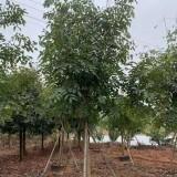 10公分腊肠树价格 绿化用腊肠树批发
