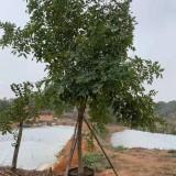 腊肠树哪里有卖 基地12公分腊肠树价格