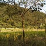 4公分合欢8公分合欢树多少钱一棵