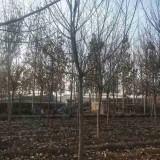 6公分枫杨那里有卖的 基地6~8公分枫杨树价格